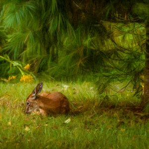 Sheltered Fawn